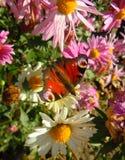 Βασιλίσκος στον κήπο crusantemums, ηλιόλουστη μεσημβρία Στοκ Φωτογραφία
