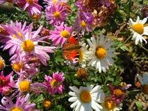 Βασιλίσκος στον κήπο crusantemums, ηλιόλουστη μεσημβρία Στοκ Εικόνα