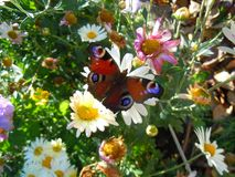 Βασιλίσκος στο λουλούδι στον κήπο, ηλιόλουστη ημέρα Στοκ εικόνα με δικαίωμα ελεύθερης χρήσης