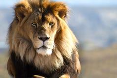 Βασιλιάς λιονταριών των άγρια περιοχών Στοκ Φωτογραφίες