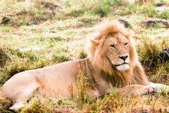 βασιλιάς της Αφρικής Στοκ εικόνα με δικαίωμα ελεύθερης χρήσης
