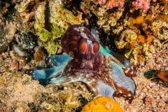 Βασιλιάς χταποδιών της κάλυψης στη Ερυθρά Θάλασσα στοκ εικόνες
