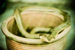 Βασιλιάς Cobra Στοκ εικόνες με δικαίωμα ελεύθερης χρήσης