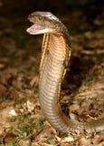 βασιλιάς cobra στοκ φωτογραφία