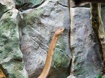 Βασιλιάς Cobra Ophiophagus Hannah που στέκεται επάνω Στοκ Εικόνες