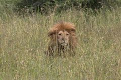 Βασιλιάς Hidding λιονταριών στη χλόη στο Serengeti στοκ εικόνες