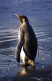 βασιλιάς penguin Στοκ Εικόνες