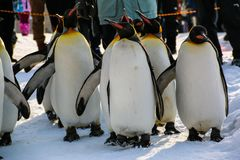 Βασιλιάς penguins που περπατά στο χιόνι, Ιαπωνία Στοκ Εικόνες