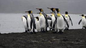 Βασιλιάς Penguins στην παραλία απόθεμα βίντεο