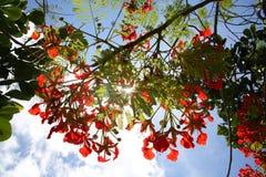 Βασιλικά άνθη Poinciana αναδρομικά φωτισμένα από τον ήλιο Στοκ φωτογραφία με δικαίωμα ελεύθερης χρήσης