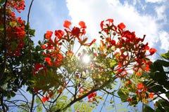 Βασιλικά άνθη Poinciana αναδρομικά φωτισμένα από τον ήλιο Στοκ φωτογραφίες με δικαίωμα ελεύθερης χρήσης