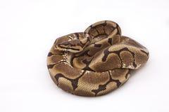 βασιλική αράχνη σφαιρών morph python Στοκ φωτογραφία με δικαίωμα ελεύθερης χρήσης