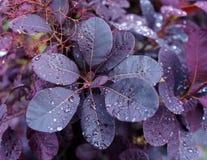 Βασιλική πορφύρα Coggygria Cotinus με τις σταγόνες βροχής στον κήπο στοκ εικόνες