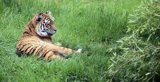 Βασιλική τίγρη ή τίγρη της Βεγγάλης Στοκ εικόνα με δικαίωμα ελεύθερης χρήσης