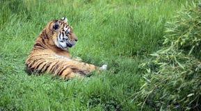 Βασιλική τίγρη ή τίγρη της Βεγγάλης Στοκ Εικόνες