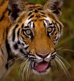 βασιλική τίγρη κινηματογραφήσεων σε πρώτο πλάνο 2 Βεγγάλη Στοκ Φωτογραφίες