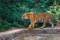 Βασιλική τίγρη της Βεγγάλης μέσα σε Trivandrum, ζωολογικός κήπος Κεράλα Ινδία Thiruvananthapuram Στοκ Εικόνες