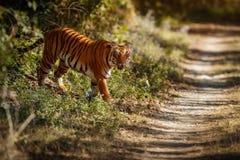 Βασιλική τίγρη της Βεγγάλης σε ένα όμορφο χρυσό υπόβαθρο Καταπληκτική τίγρη στο βιότοπο φύσης Σκηνή άγριας φύσης με το επικίνδυνο Στοκ εικόνες με δικαίωμα ελεύθερης χρήσης