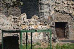 βασιλική τίγρη της Βεγγάλης στοκ φωτογραφία με δικαίωμα ελεύθερης χρήσης