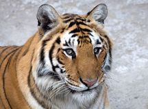 βασιλική τίγρη της Βεγγάλ Στοκ φωτογραφίες με δικαίωμα ελεύθερης χρήσης
