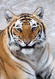 βασιλική τίγρη της Βεγγάλ Στοκ Εικόνες