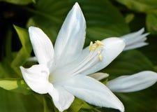 Βασιλική τυποποιημένη άσπρη άνθιση Hosta Στοκ Εικόνες