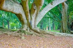 Βασιλικός βοτανικός κήπος Peradeniya, Σρι Λάνκα Στοκ φωτογραφίες με δικαίωμα ελεύθερης χρήσης