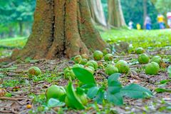 Βασιλικός βοτανικός κήπος Peradeniya, Σρι Λάνκα Στοκ εικόνα με δικαίωμα ελεύθερης χρήσης