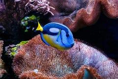 Βασιλικός μπλε χειρούργος ψαριών - hepatus Paracanthurus στοκ εικόνα με δικαίωμα ελεύθερης χρήσης