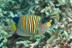 Βασιλικό ή βασιλοπρεπές diacanthus Pygoplites angelfish που κολυμπά πέρα από την κοραλλιογενή ύφαλο του Μπαλί, Ινδονησία Στοκ Εικόνα