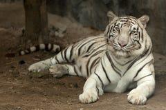 βασιλικό λευκό τιγρών Στοκ εικόνες με δικαίωμα ελεύθερης χρήσης