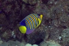 Βασιλικό angelfish στη Ερυθρά Θάλασσα. Στοκ φωτογραφία με δικαίωμα ελεύθερης χρήσης