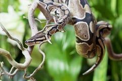 Βασιλικό Python σε έναν ξύλινο κλάδο Στοκ Εικόνες