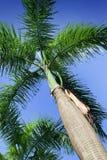 βασιλικό roystonea regia φοινικών στοκ φωτογραφίες