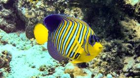 Βασιλοπρεπές angelfish στην κοραλλιογενή ύφαλο, Μαλδίβες στοκ εικόνες