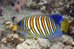 Βασιλοπρεπές Angelfish, diacanthus Pygoplites, που κολυμπά πέρα από την κοραλλιογενή ύφαλο στοκ φωτογραφίες με δικαίωμα ελεύθερης χρήσης