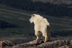Βασιλοπρεπής αίγα βουνών στον αλπικό στοκ εικόνες με δικαίωμα ελεύθερης χρήσης