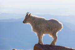 Βασιλοπρεπής αίγα βουνών στοκ φωτογραφία με δικαίωμα ελεύθερης χρήσης