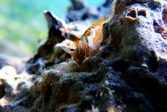 Βασιλοπρεπής θεά Nudibranch θάλασσας - picta Felimare στοκ εικόνες με δικαίωμα ελεύθερης χρήσης