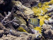 Βασιλοπρεπή ριγωτά τροπικά ψάρια Angelfish λαμπρά πέρα από την κοραλλιογενή ύφαλο υποβρύχια στοκ εικόνες
