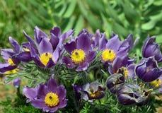 Βασιλεία - Pulsatilla vulgaris/Küchenschelle, Blume Στοκ Εικόνες