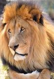 Βασιλιάς λιονταριών Στοκ εικόνες με δικαίωμα ελεύθερης χρήσης