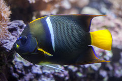 Βασιλιάς angelfish (πομπός Holacanthus) Στοκ φωτογραφία με δικαίωμα ελεύθερης χρήσης