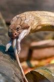 Βασιλιάς Cobra που τρώει έναν αρουραίο, ζωολογικός κήπος Bronx, NYC Στοκ φωτογραφίες με δικαίωμα ελεύθερης χρήσης