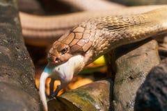 Βασιλιάς Cobra που τρώει έναν αρουραίο, ζωολογικός κήπος Bronx, NYC Στοκ εικόνα με δικαίωμα ελεύθερης χρήσης