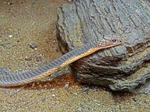 Βασιλιάς Cobra στο υπόβαθρο άμμου και πετρών Στοκ φωτογραφία με δικαίωμα ελεύθερης χρήσης
