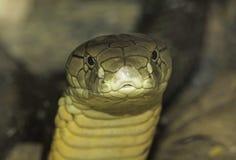 Βασιλιάς Cobra Στοκ φωτογραφία με δικαίωμα ελεύθερης χρήσης