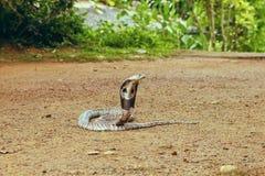 Βασιλιάς Cobra Ophiophagus Hannah Στοκ Εικόνα