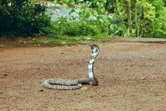 Βασιλιάς Cobra Ophiophagus Hannah Στοκ φωτογραφίες με δικαίωμα ελεύθερης χρήσης
