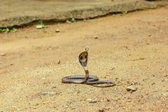 Βασιλιάς Cobra Ophiophagus Hannah Στοκ εικόνα με δικαίωμα ελεύθερης χρήσης